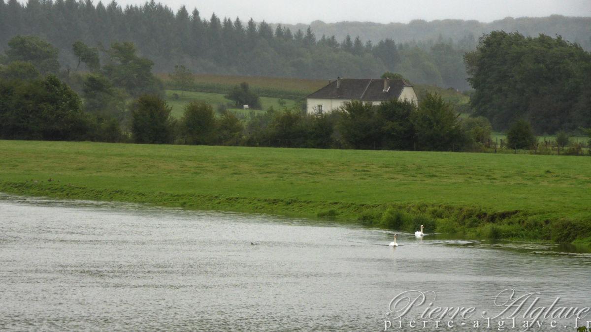 Cygnes à Motey-sur-Saône