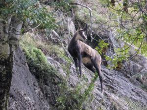 Chamois goguenard