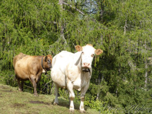Vaches compatissantes