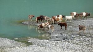 Vaches s'abreuvant au barrage des Toules