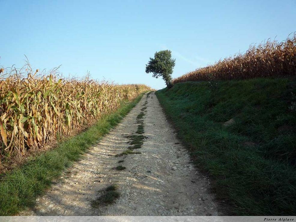 Chemin et maïs
