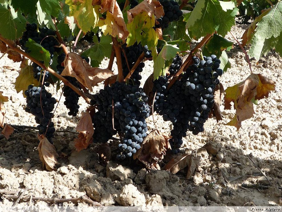 Le raisin de la Rioja
