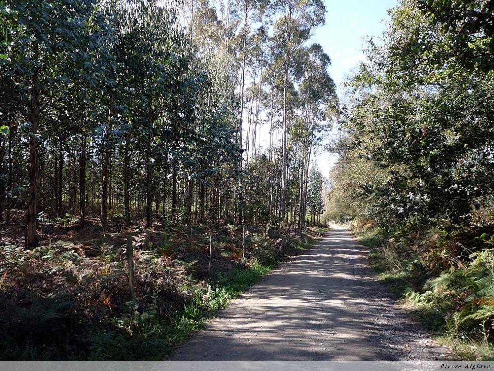 Le chemin à travers une forêt d`eucalyptus
