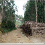 Forêt d\'eucalyptus