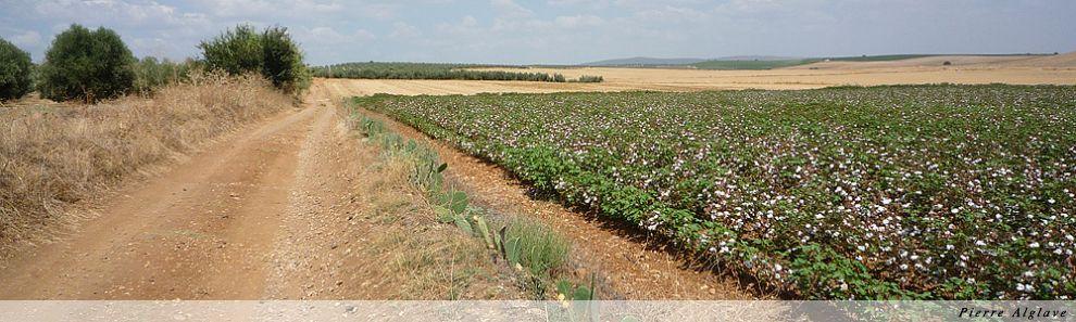 Entre oliveraies et champs de coton