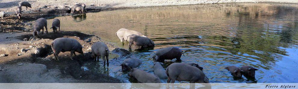 Cochons noirs au bain