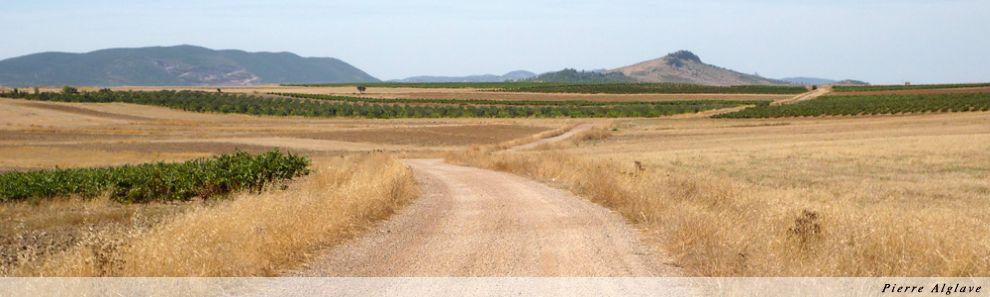 Vignes sur la via de la Plata vers Zafra
