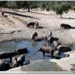 Les cochons noirs, le retour