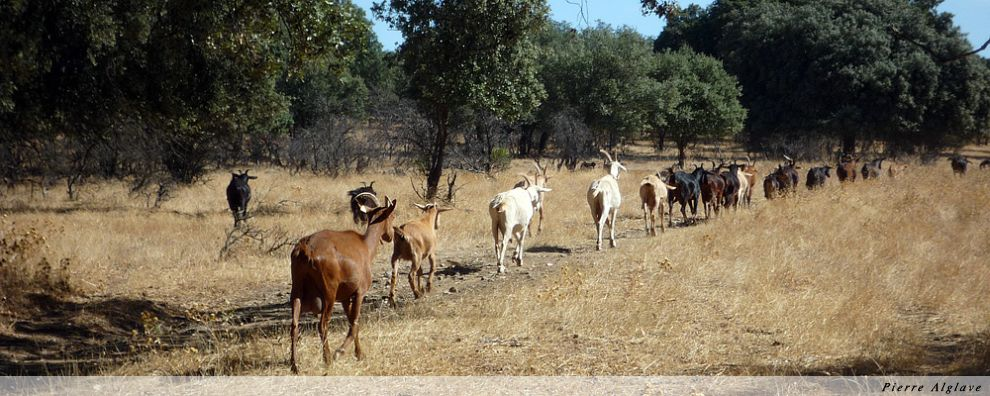 En suivant les chèvres
