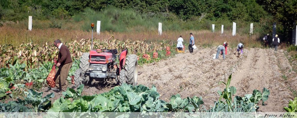 Récolte des pommes de terre